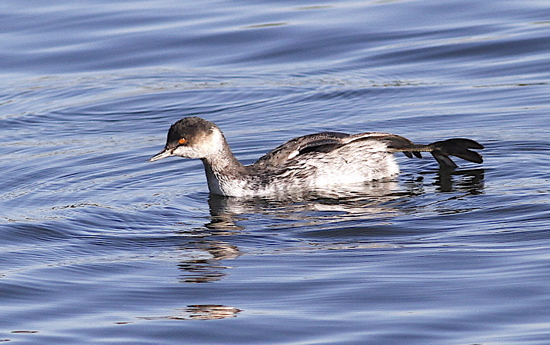 Black-necked Grebe, Pitsford Res, October 2012 (Dave Jackson)