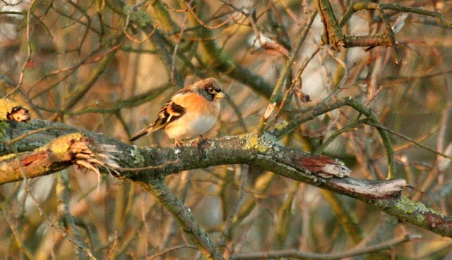 Brambling, Harrington AF, 2nd December 2012 (Ian Pretty)