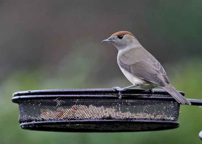 Female presumed Central European Blackcap, Northampton, December 2012 (Dave Jackson)