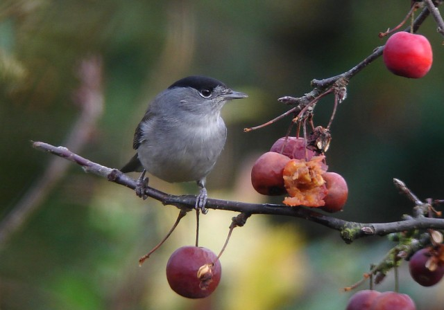 Male Blackcap, Northampton, December 2012 (Dave Warner)