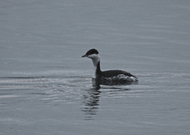 Slavonian Grebe, Pitsford Res, 18th December 2012 (Mark Williams)