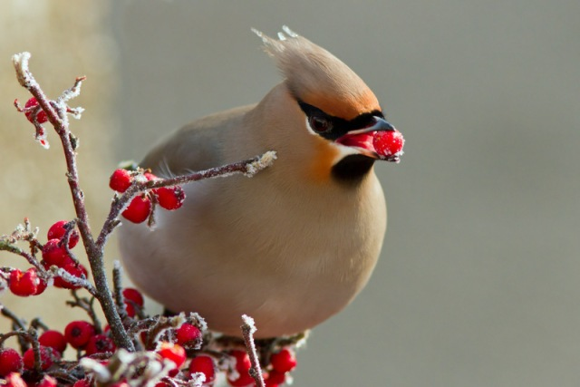 Waxwing, Chelveston, December 2012 (John Britten)