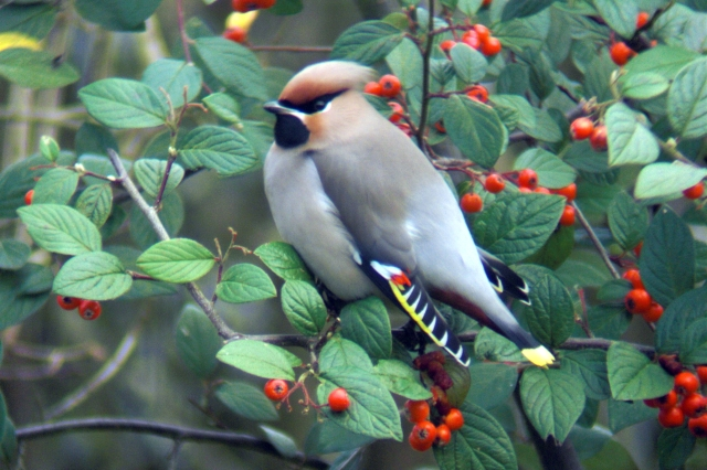 Waxwing, Sywell, 28th November 2012 (Jim Dunkley)