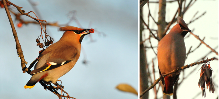 Waxwings, Northamptonshire, 8th December 2012. Left, Kettering (Mark Skinner), right Stortons GP (Gary Burrows). Even dried rowan berries appeared preferable to the plentiful supply of Cotoneaster fruits nearby.
