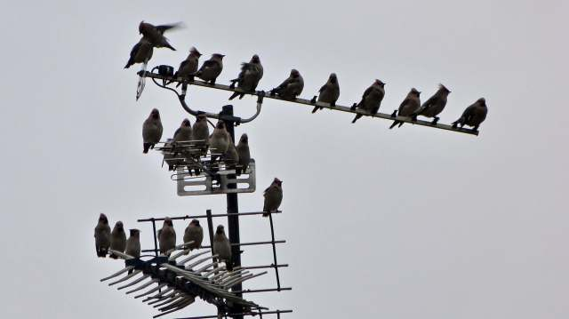 Waxwings, Polebrook, 20th December 2012 (Terry Wood)