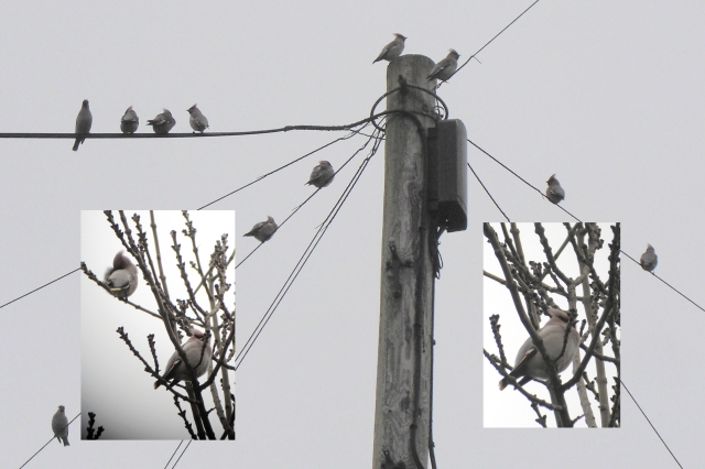 Waxwings, Sywell, December 2012 (Jim Dunkley)