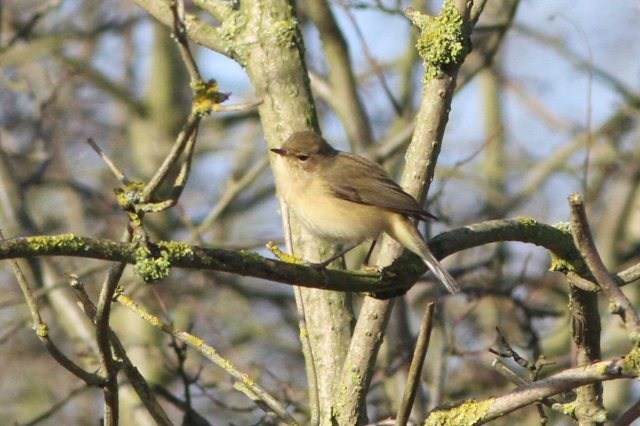 Siberian Chiffchaff, Ecton SF, 26th January 2013 (Bob Bullock). A browner-toned individual, seen only on one day.