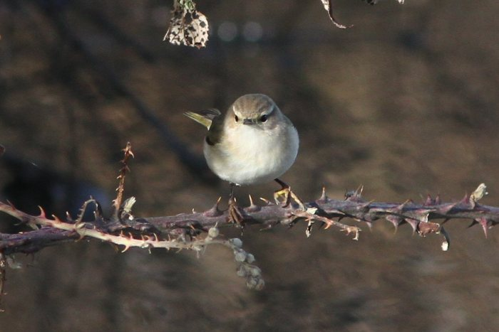 Siberian Chiffchaff, Ecton SF, 27th January 2013 (Bob Bullock). A different individual to the above. Changing light conditions can affect the colour tones. The supercilia in this head-on view appear very striking.