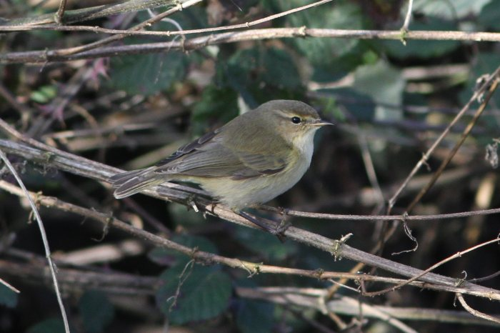 Siberian Chiffchaff, Ecton SF, 27th January 2013 (Bob Bullock). The same bird as in the previous image. There is a hint of a wing bar which varied in prominence between virtual absence and being quite noticeable, according to light conditions.