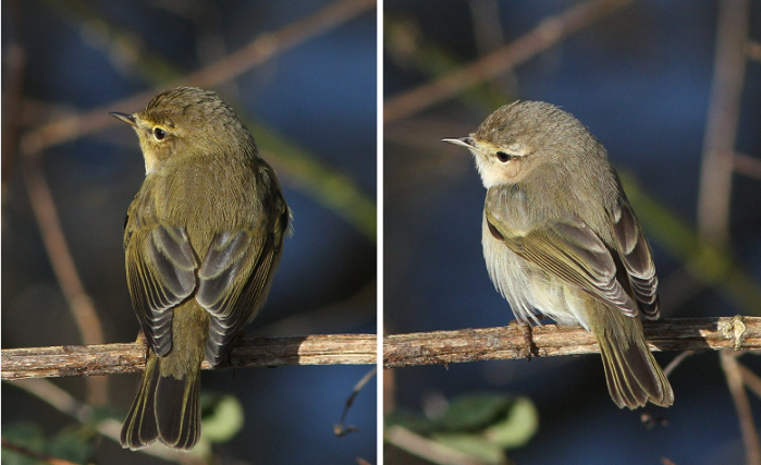 Chiffchaff P. c. collybita (left) and Siberian Chiffchaff P. c. tristis, Ecton SF, 27th January 2013 (Bob Bullock)