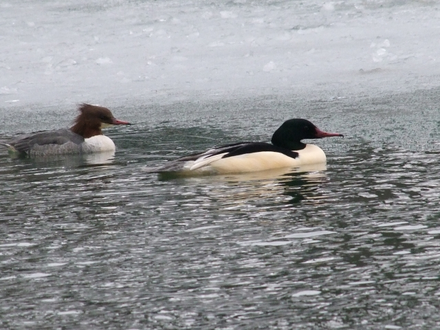 Goosanders, Abington Park Lake, Northampton 23rd January 2013 (Doug Goddard)