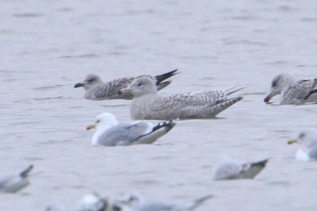Juvenile Glaucous Gull, Stanwick GP, January 2013 (Bob Bullock). The small bill, 'gentle' appearance and relatively small size suggest this is a female.