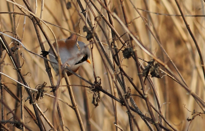Male Bearded Tit, Ecton SF, 9th January 2013 (Pete Gilbert). One of at least two males at this site.
