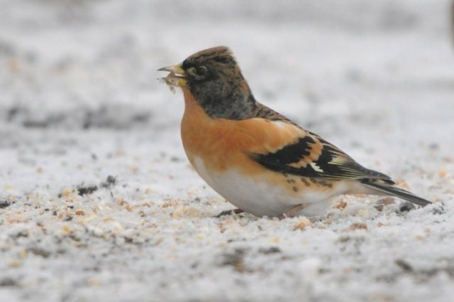 Male Brambling, Harrington Airfield, January 2013 (Steve Atkinson)