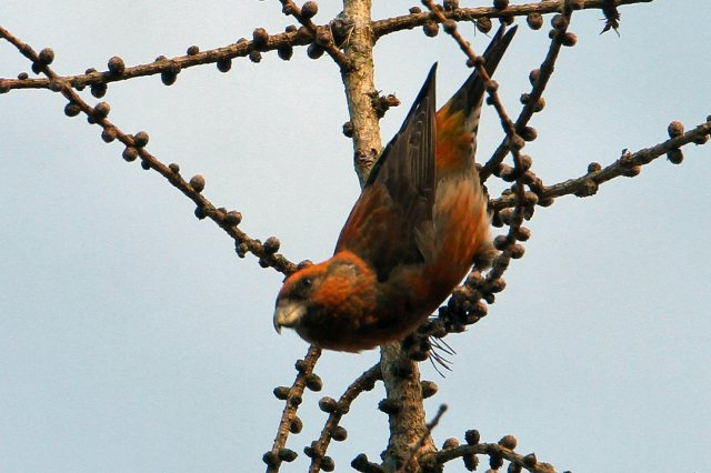 Male Crossbill, Wakerley Great Wood, 13th January 2013 (Bob Bullock)