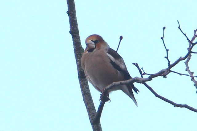 Male Hawfinch, Blatherwycke Lake, 13th January 2013 (Bob Bullock)