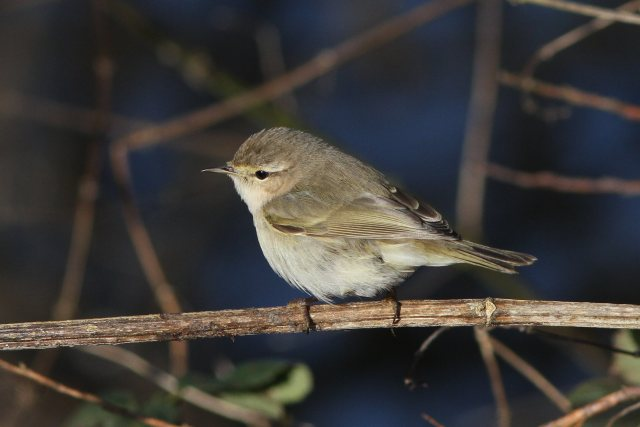 Siberian Chiffchaff Phylloscopus collybita tristis, Ecton SF, 27th January 2013 (Bob Bullock)