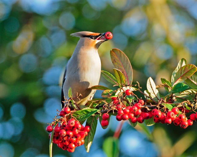 Waxwing, East Hunsbury, Northampton, January 2013 (Clive Bowley)