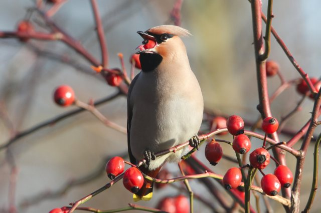 Waxwing, Northampton, January 2013 (Bob Bullock)