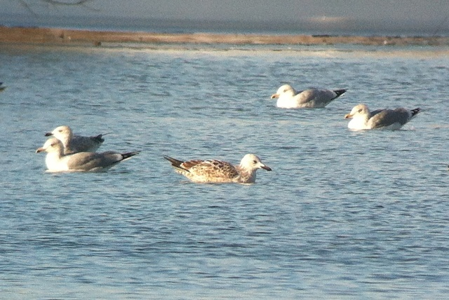 First-winter Caspian Gull, Ditchford GP, 26th January 2013 (John Friendship-Taylor)