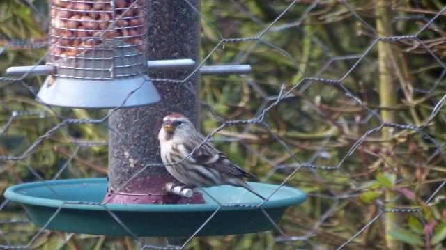 Mealy Redpoll, Polebrook, 18th February 2013 (Terry Wood)