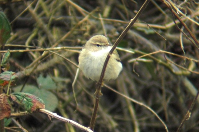 Siberian Chiffchaff, Ecton SF, 8th February 2013 (Jim Dunkley)