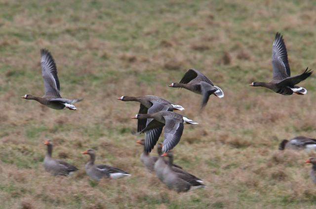 White-fronted Geese, Cilfford Hill GP, 22nd February 2013 (Bob Bullock)