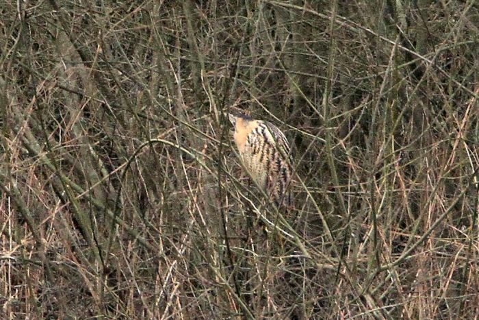 Bittern, Ravensthorpe Res, 1st March 2013 (Bob Bullock)