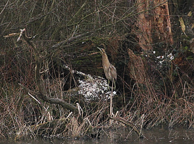 Bittern, Ravensthorpe Res, 28th February 2013 (Alan Coles)