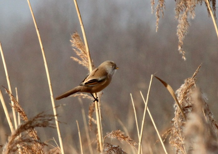 Female Bearded Tit, Ecton SF, 5th March 2013 (Phil Jackman)