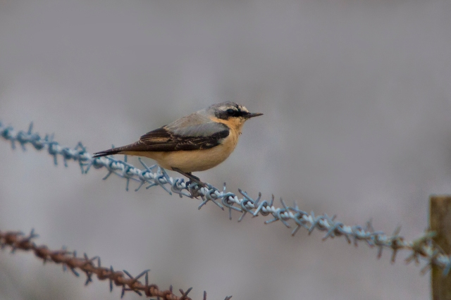First summer male Northern Wheatear, Clifford Hill GP, 26th March 2013 (Michael Hedge)