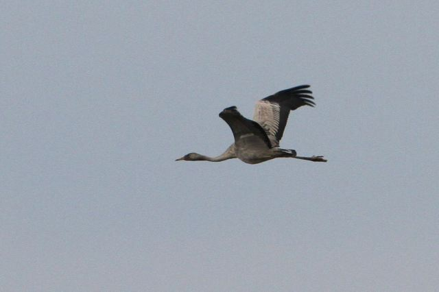 First-year Common Crane, Thorpe Waterville, 28th March 2013 (Bob Bullock)
