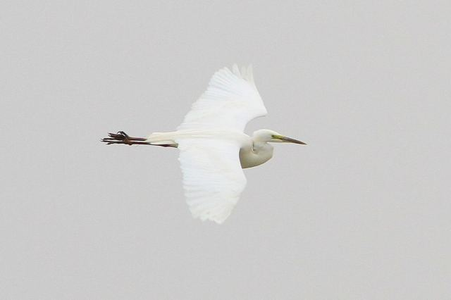 Great White Egret, Summer Leys LNR, 28th March 2013 (Bob Bullock)
