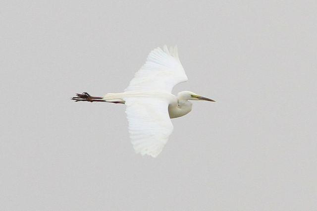 Great White Egret, Summer Leys LNR, 28th March 2013 (Bob Bullock)