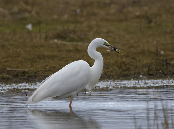 Great White Egret, Summer Leys LNR, 28th March 2013 (Doug McFarlane)