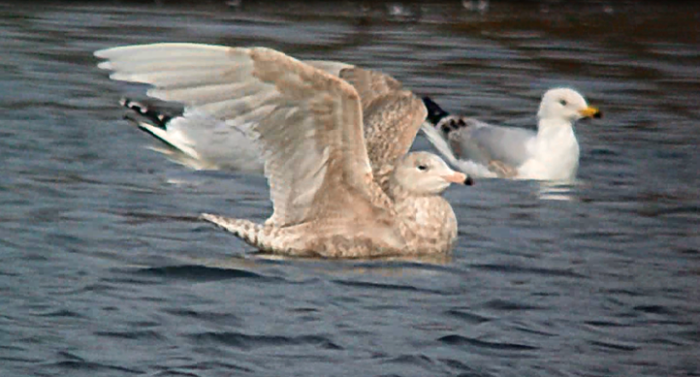 Juvenile Glaucous Gull, Ditchford GP, 3rd March 2013 (Mike Alibone)1