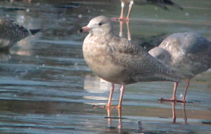 Juvenile Glaucous Gull, Ditchford GP, 3rd March 2013 (Mike Alibone)