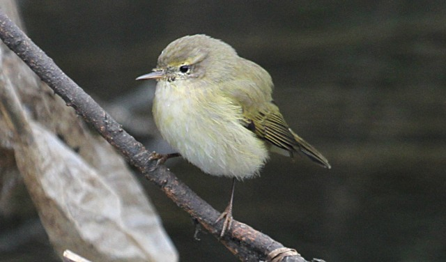 Siberian Chiffchaff, Ection SF, 26th February 2013 (Alan Coles)
