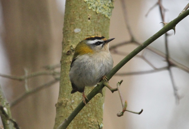 Male Firecrest, Ditchford GP, 9th April 2013 (Alan Coles)