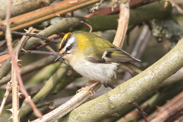 Male Firecrest, Ditchford GP, 9th April 2013 (Bob Bullock)