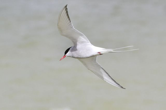 Arctic Tern, Bozeat GP, 18th April 2013 (Bob Bullock)