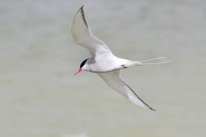 Arctic Tern, Bozeat GP, 18th April 2013 (Bob Bullock)
