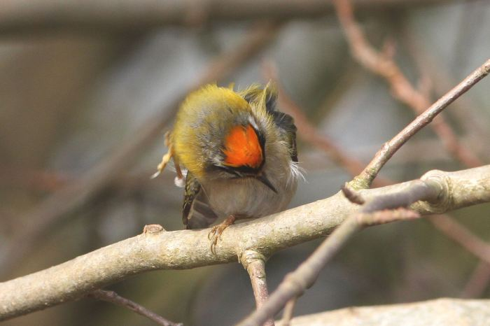 Male Firecrest, Ditchford GP, 9th Ap 2013 (Bob Bullock)