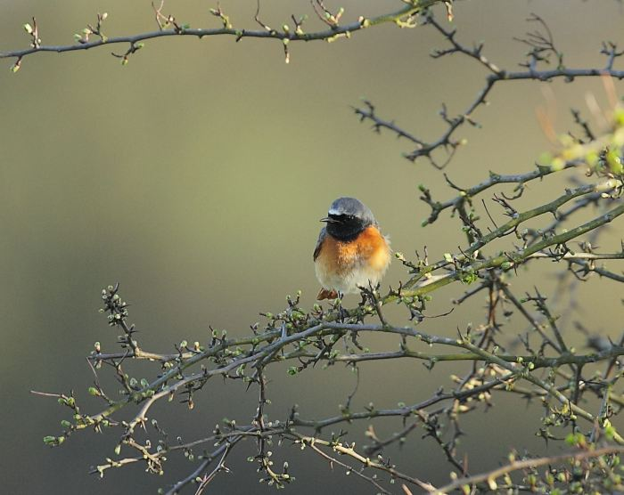Male Common Redstart, Clifford Hill GP, 16th April 2013 (Jonathan Philpot)