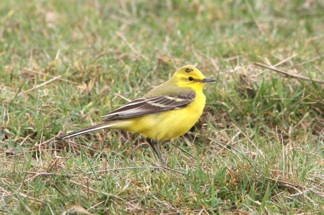 Yellow Wagtail, Hollowell Res, 17th April 2013 (Bob Bullock)
