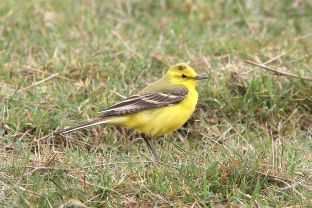 Yellow Wagtail, Hollowell Res, 17th April 2013 (Bob Bullock)