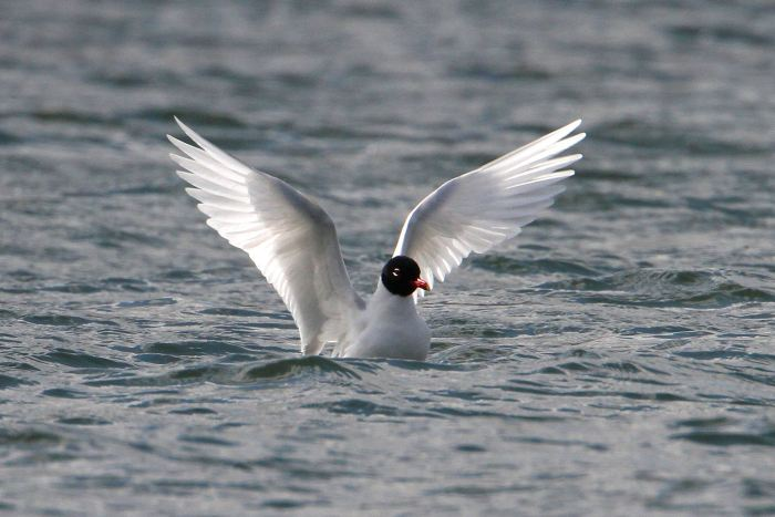 Adult Mediterranean Gull, Daventry CP, 5th April 2013 (Bob Bullock)