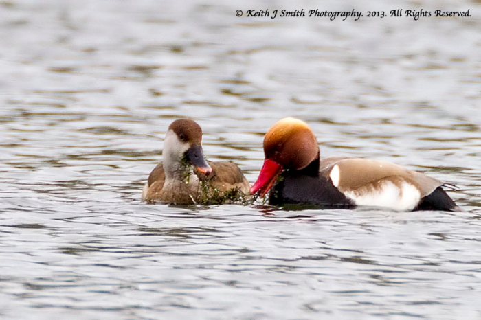 Male and female Red-crested Pochard, Hardingstone GP, 22nd April 2013 (Keith J Smith)