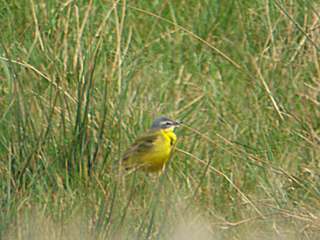 Male Blue-headed Wagtail, Thrapston GP, 21st April 2013 (Adrian Borley)