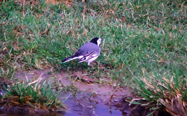 White Wagtail, Upton Valley, April 2013 (Mike Alibone). Note the dark grey/blackish feathering in the centre of the rump. Although there is a chance this could be an intermediate individual (hybrid Pied x White Wagtail is not uncommon) the colour and extent of dark feathering appears to fall within the range of normal variation for White Wagtail.
